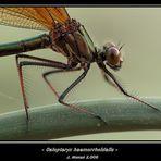 Calopteryx haemorrhoidalis -hembra-