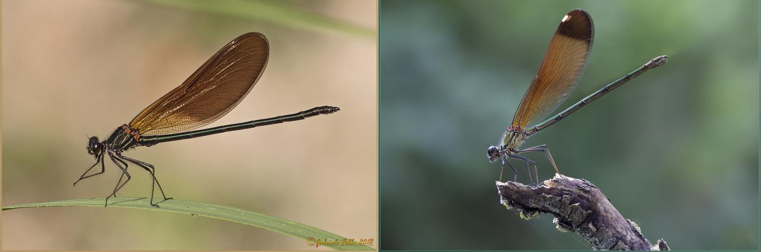 Calopteryx haemorrhoidalis maschio e femmina  (Vander Linden, 1825)