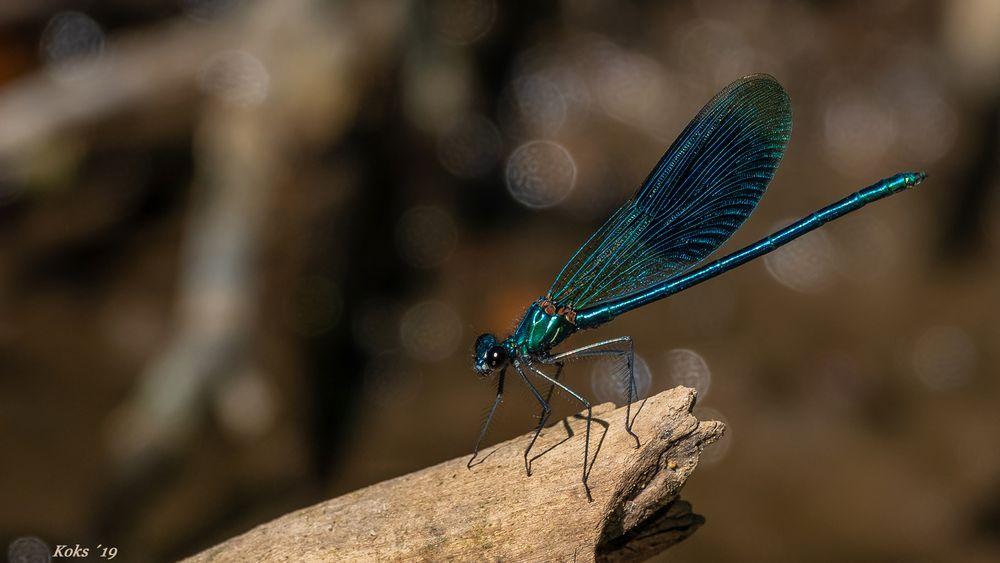 Calopteryx splendens im Testlauf