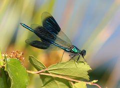 Calopteryx splendens M