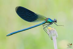 Calopteryx splendens- maschio