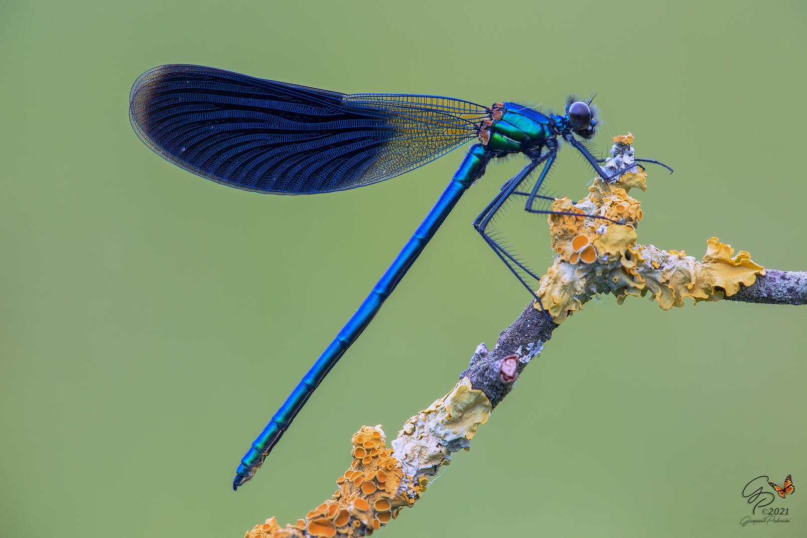 Calopteryx splendens - maschio