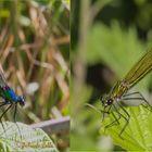 Calopteryx splendens maschio e femmina