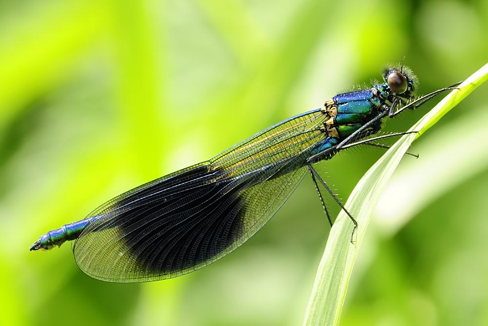 Calopteryx splendens.2
