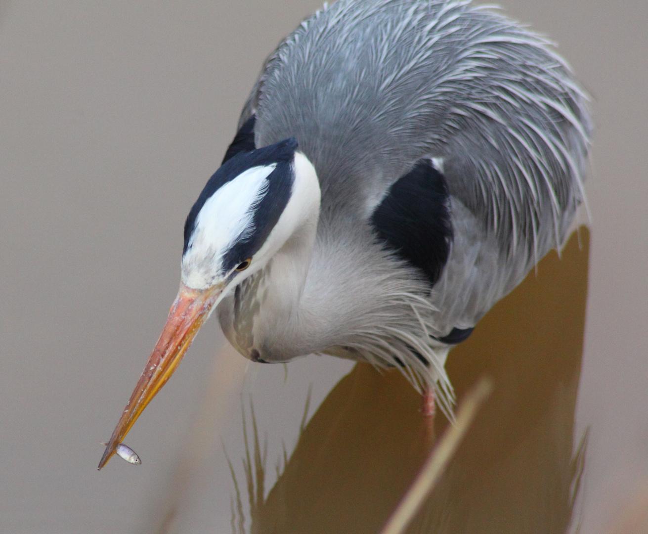 Calorie-conscious grey heron