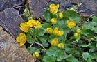 Caltha palustris - Sumpfdotterblume im Alpinum
