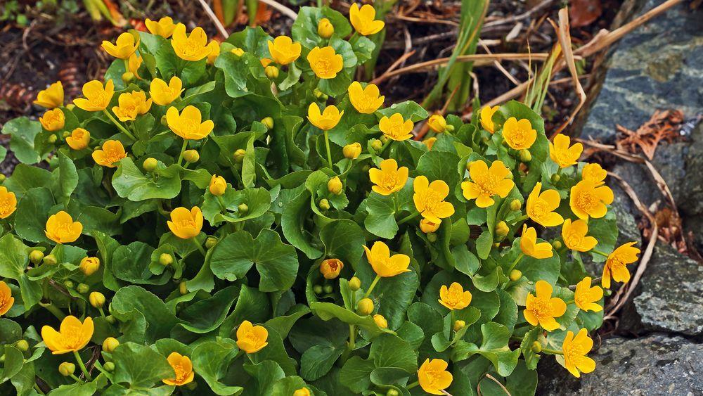 Caltha palustris-Sumpfdotterblume in einem selbstangelegtem Sumpfbiotop