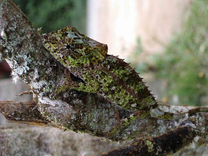 Calumma brevicornis