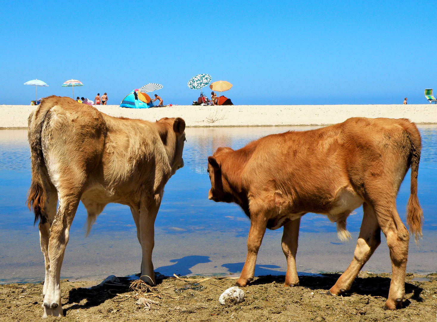 calves on the beach