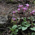 Calypso-Orchidee, Norne (Calypso bulbosa)
