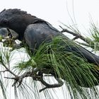 Calyptorhynchus banksii
