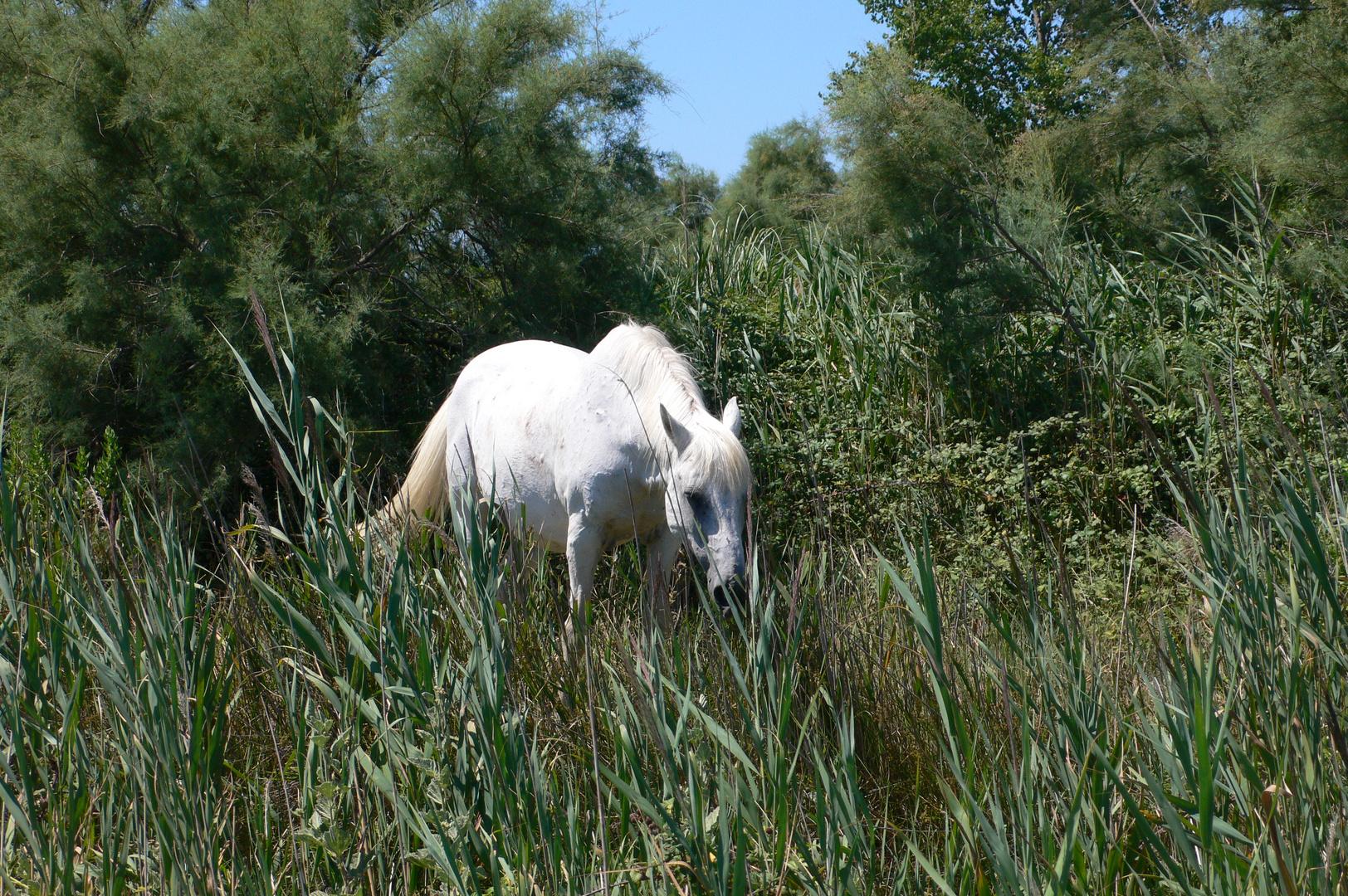 Camague-Pferd