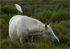 Camargue-Pferd mit Reiter