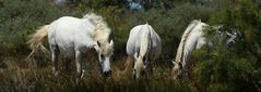 Camargue - Pferde