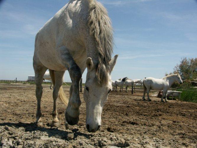 Camargue Pferde 2