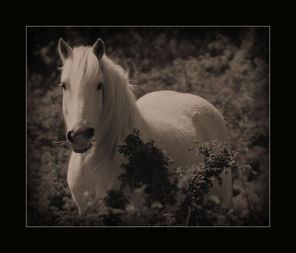 Camargue Pferde ~~~ mystische Wesen