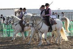 Camarguepferde auf dem Weg zu den Rindern