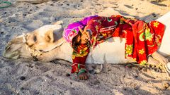 Camel chilling