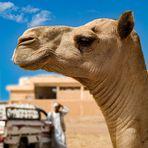 Camel market 2