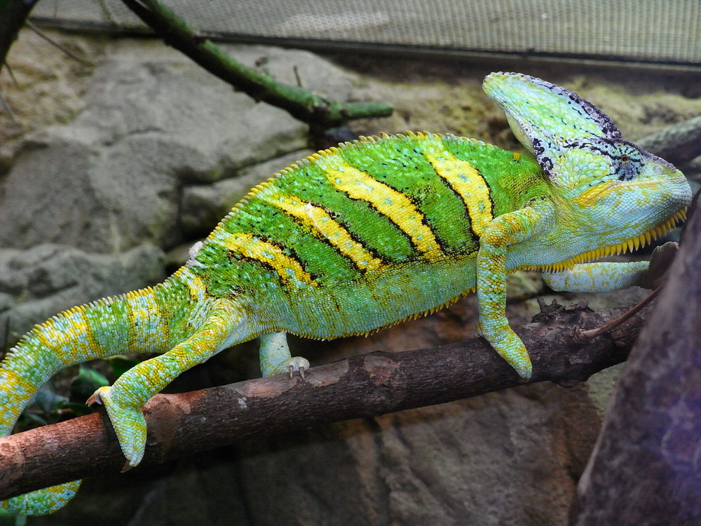 Cameleon im Zoo Wuppertal