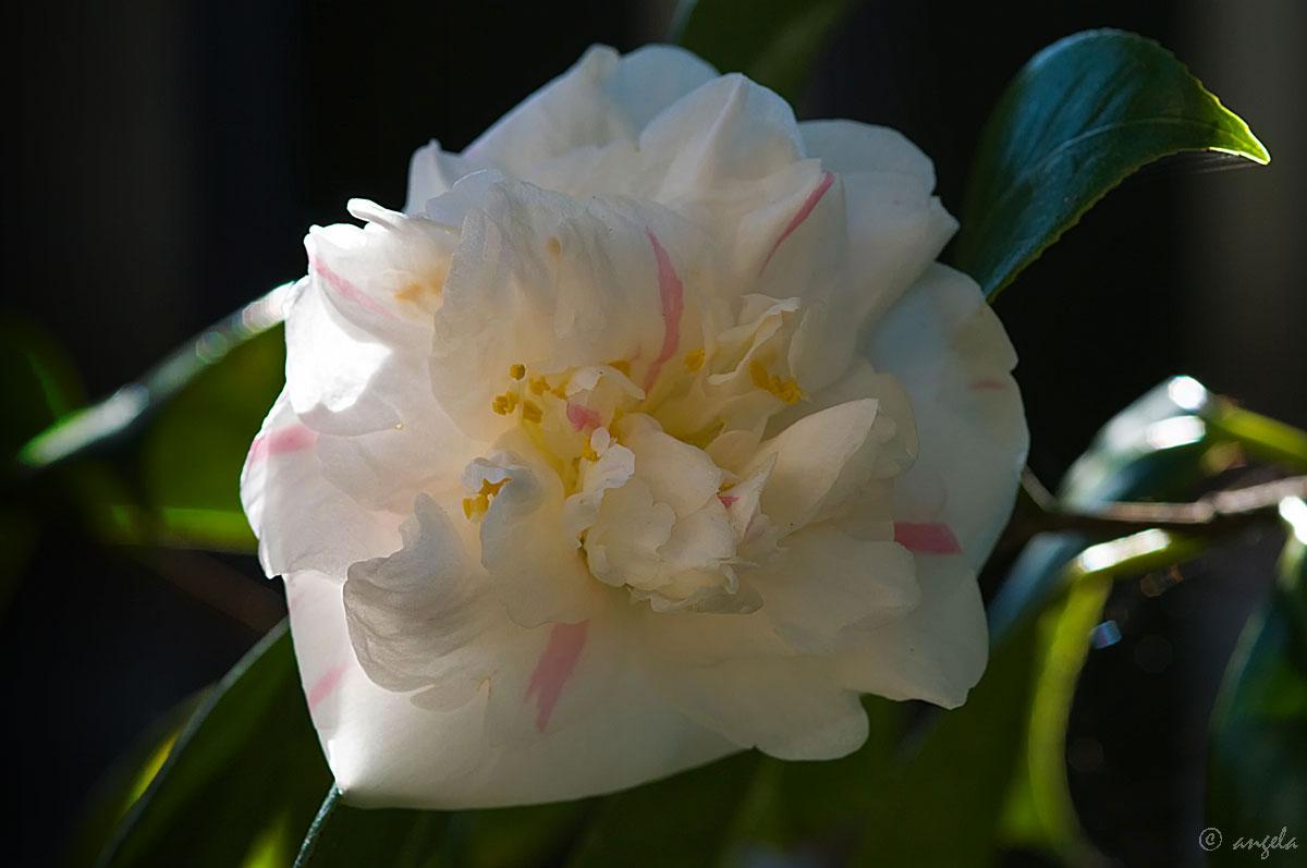 """Camelia japonica """"Betty Shelffied white"""""""