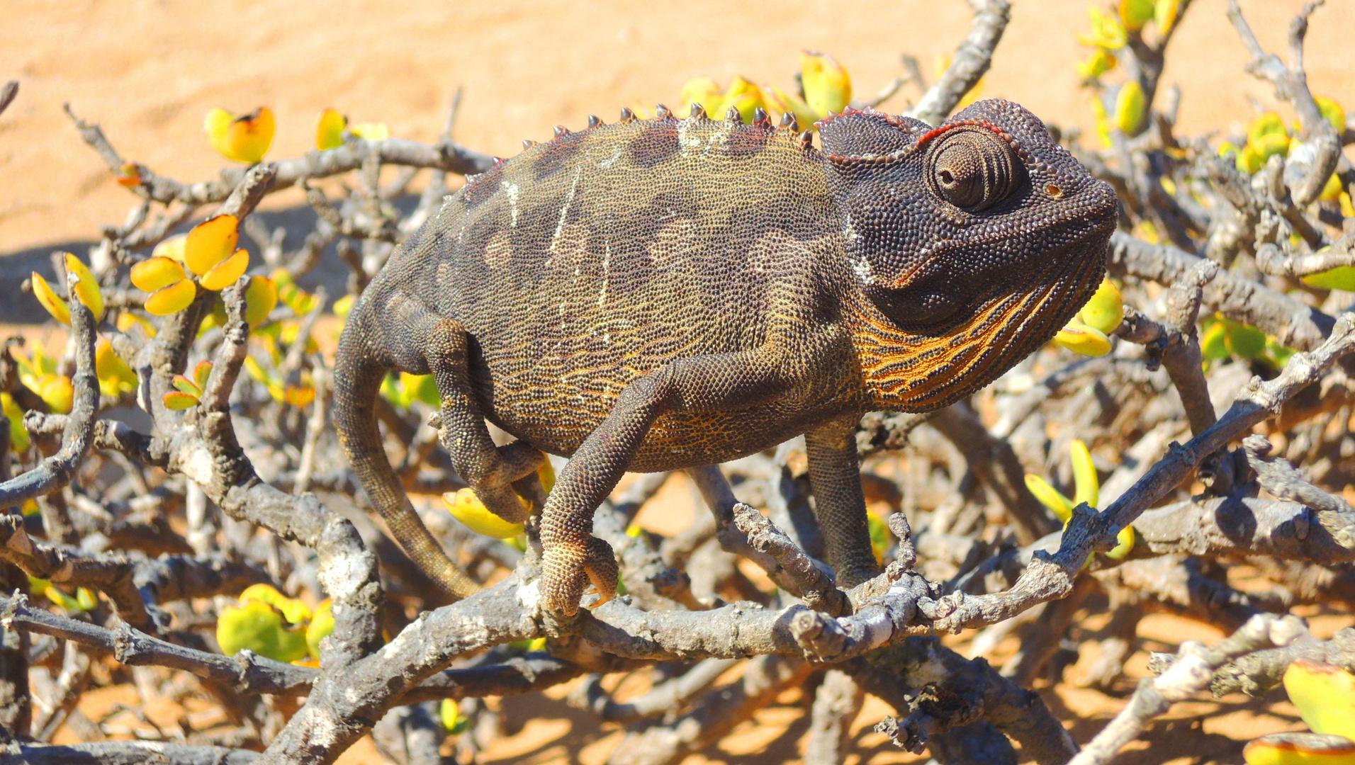 Camelion in der Namibwüste