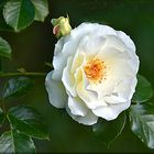Camellia for friends