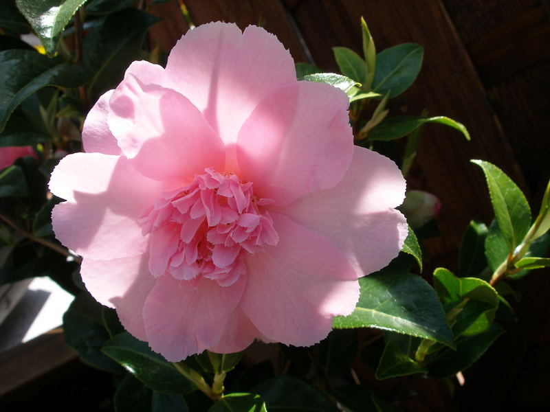 """ CAMELLIA WILLIAMSII "" BALLET QUEEN"