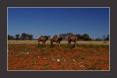 Camel's