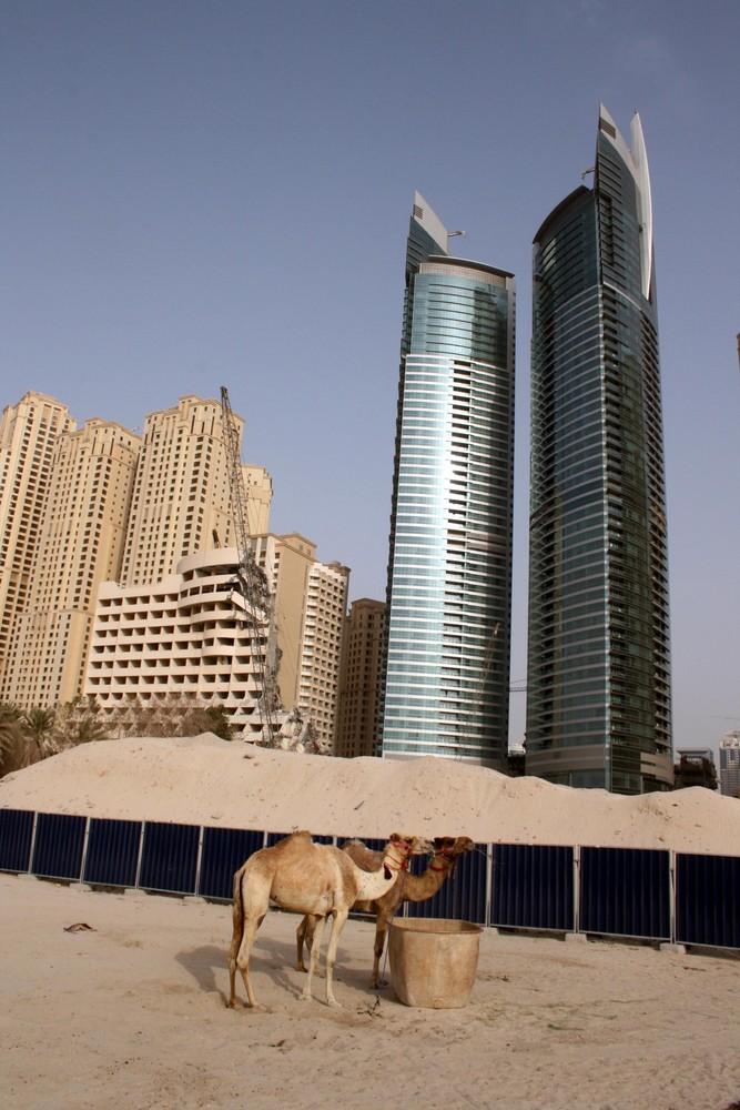 Camels at JBR
