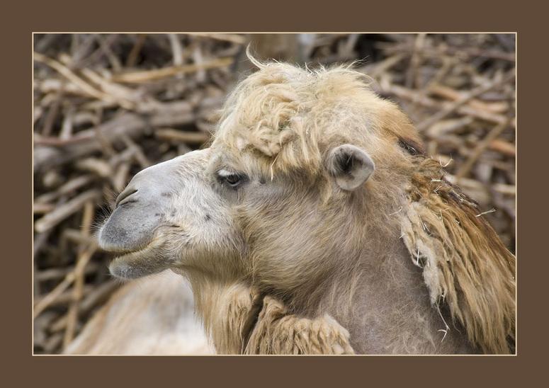 Camelus ferus f. bactriana