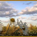 Camomiles autumn