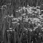 Camomille en noir et blanc