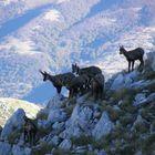 camosci d' Abruzzo