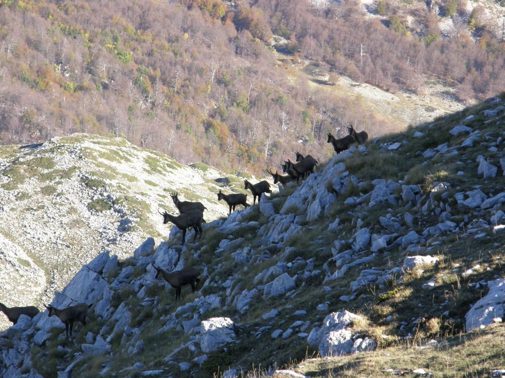 camosci d'Abruzzo