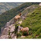 Camosci in Val di Rose