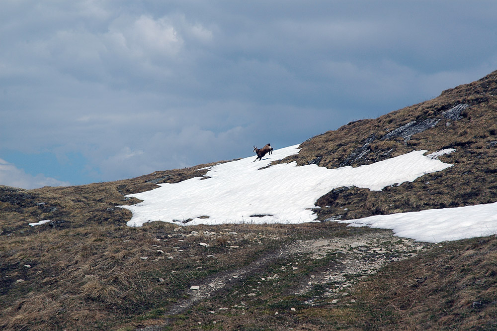 Camoscio presso il rifugio Benevolo m. 2285 Rhêmes-Notre-Dame - Valle d'Aosta.