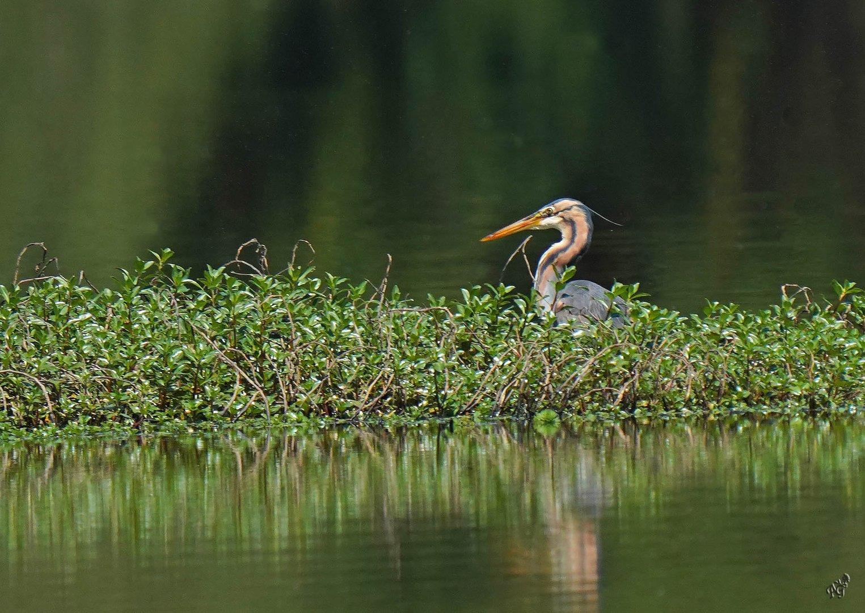 Camouflage du Héron pourpré au marais .....