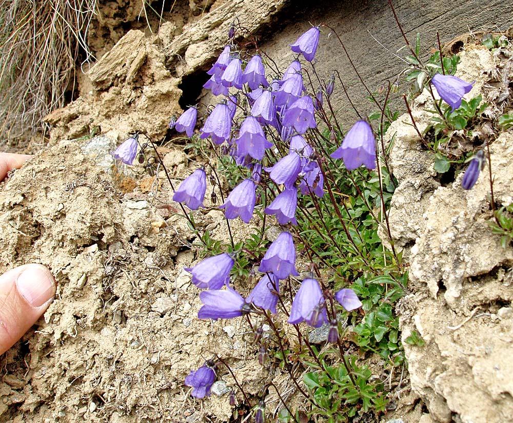 Campanula cochlearifolia - Kleine Glockenblume im Wallis