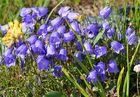Campanula cochlearifolia-niedliche, oder kleine Glockenblume im Wallis