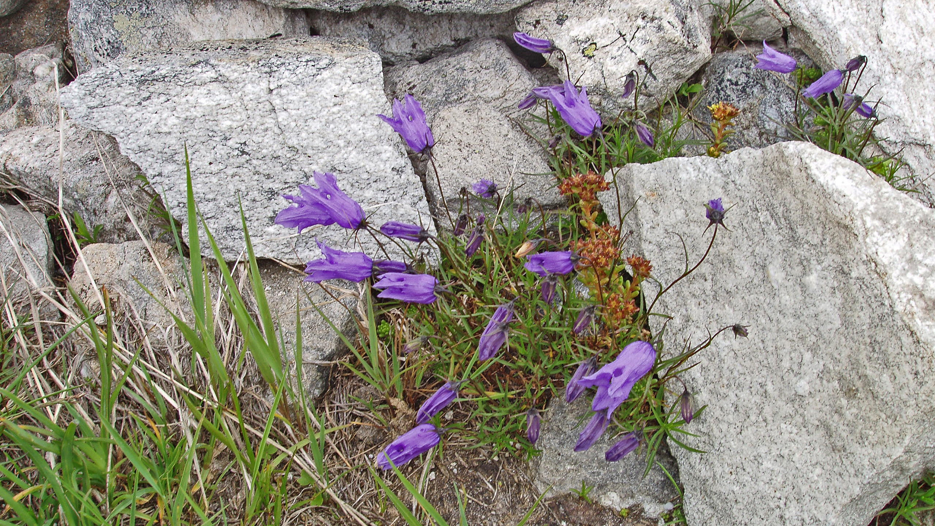 Campanula excisa-Eingeschnittene Glockenblume eine Rarität in der Schweiz