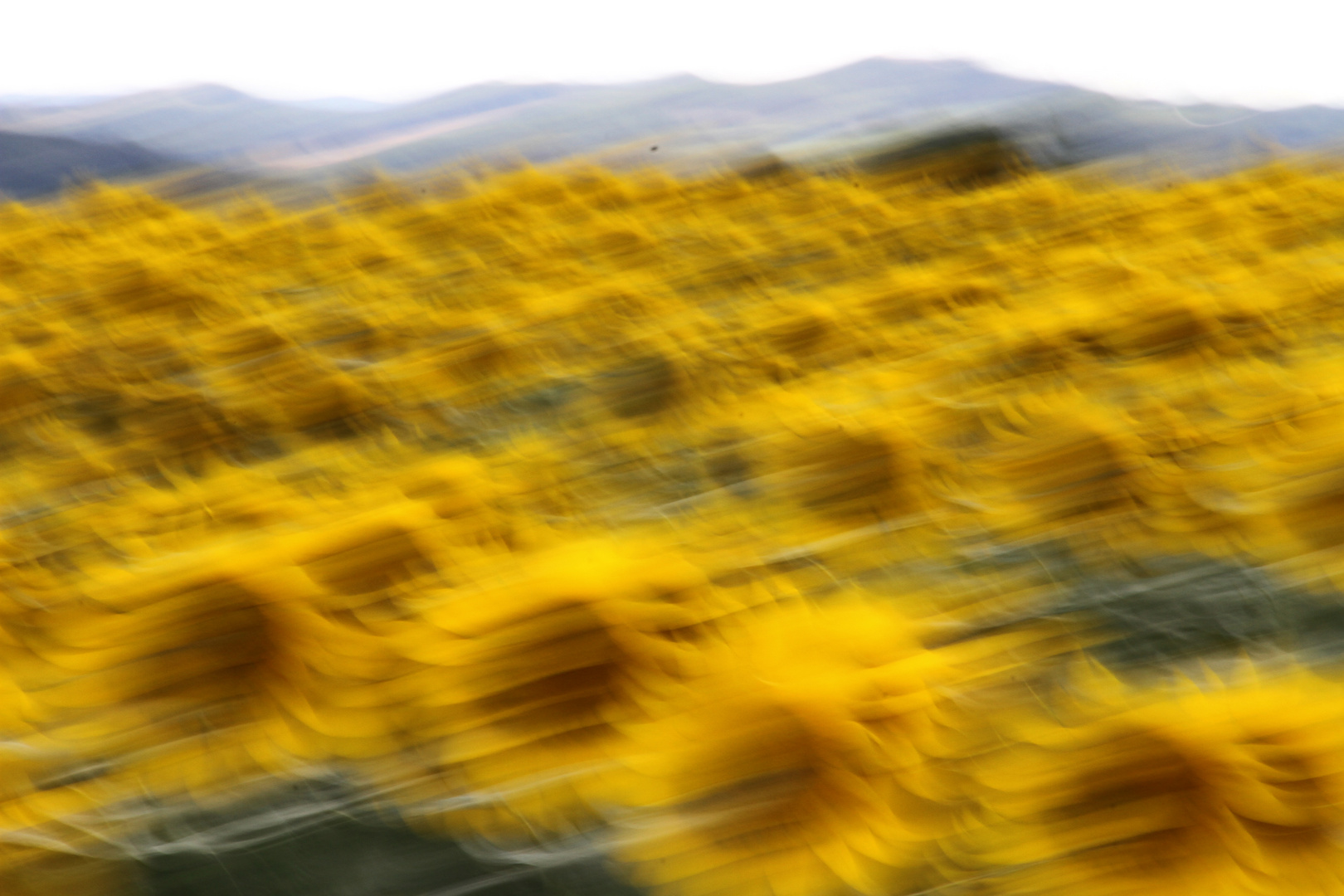 ..campo di girasoli al vento.....