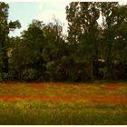 campo di papaveri