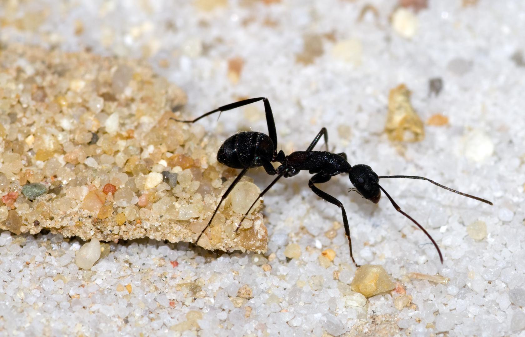 Camponotus cruentatus I
