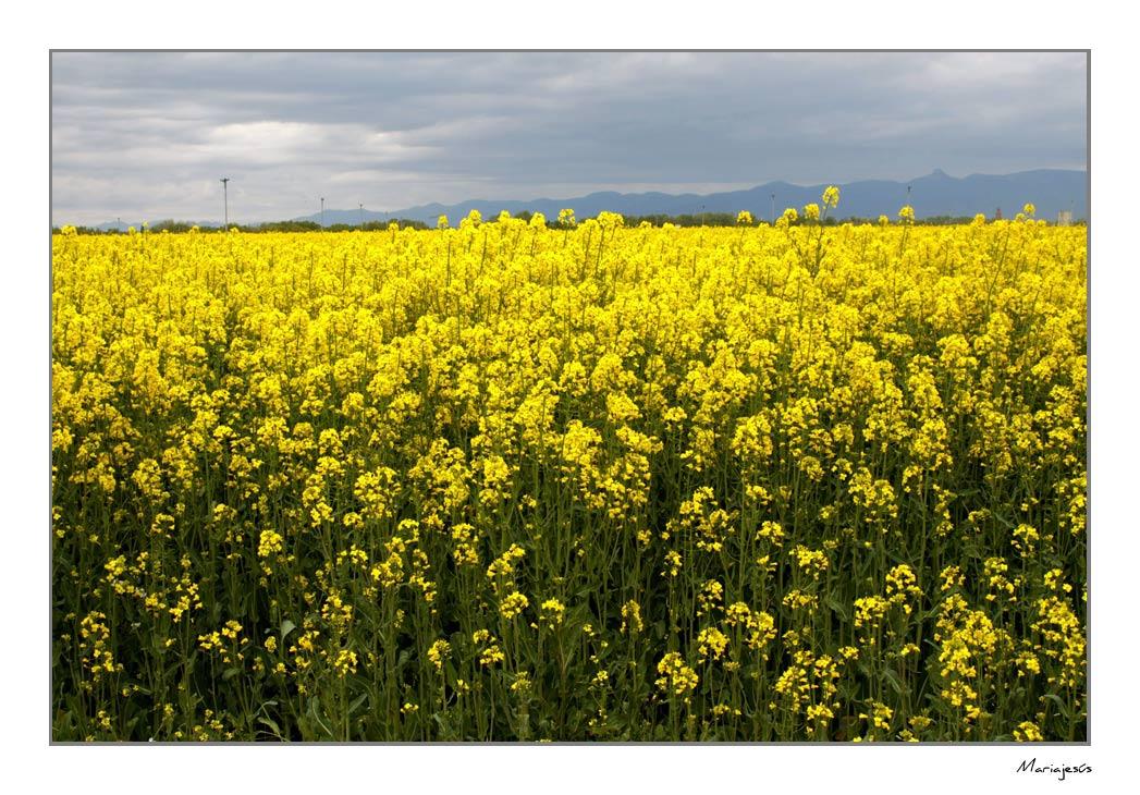 Campos amarillos (4)