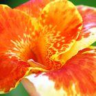 Cana flower