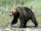 Canada - Grizzlybär