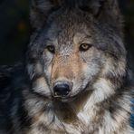Canada lupi wolves