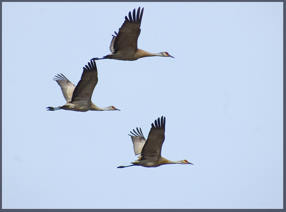 Canadian cranes