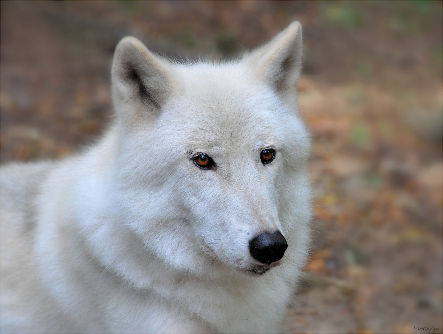 Canadian or Polar Wolf ..